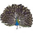 peacock-i3