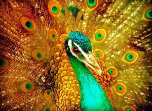 peacock-4