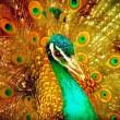 peacock-i4