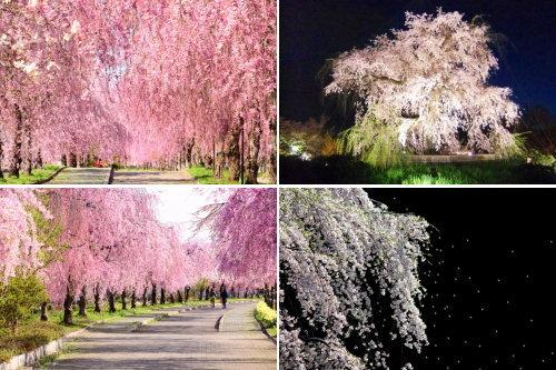 sakura-8shidaresakura