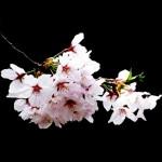 桜 画像 無料で商用フリー素材 きれいな桜の写真 壁紙や背景など