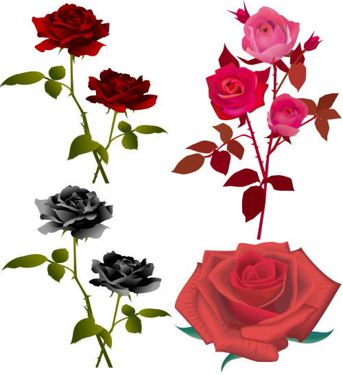 rose 3 beautiful